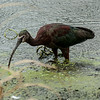 0073-0044 White-faced Ibis, Brazos Bend, May 07, 2006