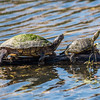 415-8497 Red-eared Slider, Brazos Bend, January 23 2017