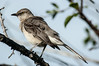 0069-0026 Northern Mockingbird, Houston, April 27, 2006