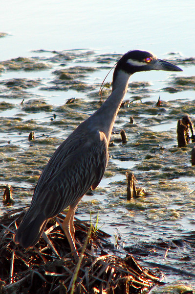 Yellow-crowned Night-Heron.  TX: Tarrant Co. (Woodland Springs Greenbelt -- Fort Worth), 27 July 2007.