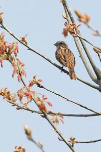 Song Sparrow Spring 2012