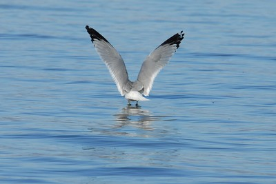 Ring-Billed Gull Guntersville, Alabama 2013