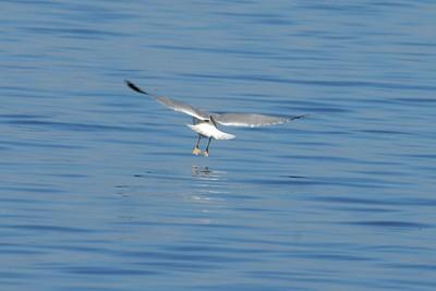 Ring-billed Gull Guntersville, Alabama 2013