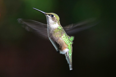 Juvenile Male Ruby-throated Hummingbird fall 2012