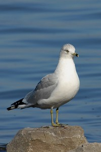 Ring Billed Gull - Guntersville, Alabama