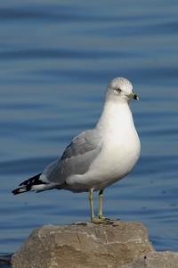 Ring Billed Gull - Guntersville, Alabama