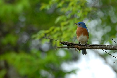 Male Blue Bird Spring 2012  Alabama