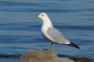 Ring-Billed Gull-Guntersville, Alabama