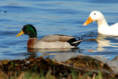 Mallard Duck - Guntersville, Alabama 2013