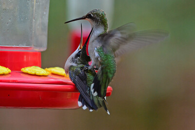 Male Juvenile Ruby-throated Hummingbirds