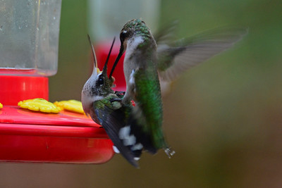 Two Juvenile Male Ruby-throated Hummingbirds fighting at the nectar bar.  Fall 2012