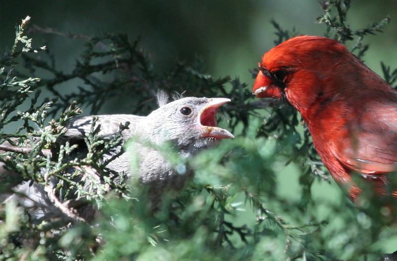 Northern Cardinal feeding fledging a cicada<br /> Villa Park, IL<br /> June11, 2007