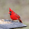 The Duke of Soperton, the male Northern Cardinal, arrived for the Thanksgiving feast.