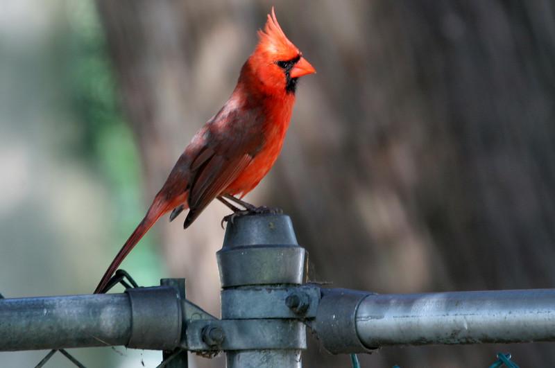 Norther Cardinal<br /> Villa Park, IL<br /> June 11, 2007