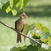 Immature female Northern Cardinal