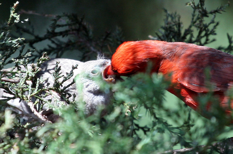 Northern Cardinal feeding fledging<br /> Villa Park, IL<br /> June 11, 2007