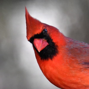 #1678  Northern Cardinal portrait, male