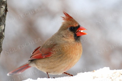 #799  Northern Cardinal, female, in winter