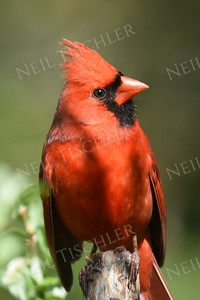 #1190  Northern Cardinal, male