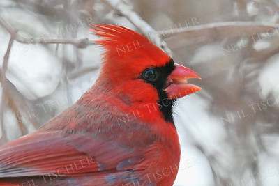 #785  Northern Cardinal portrait, male, in winter