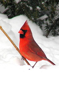 #214  Northern Cardinal, male in winter          (small image)
