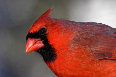 #1680  Northern Cardinal portrait, male