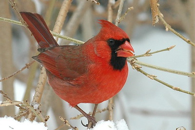 #414  Northern Cardinal, male in winter