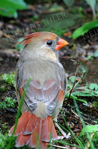 #452  Northern Cardinal, female