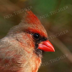 #932  Northern Cardinal portrait, female