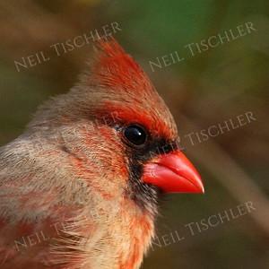 #932  Northern Cardinal portrait, female