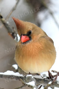 1355  Northern Cardinal, female, in winter
