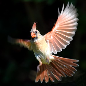 #1712  Northern Cardinal, female, taking flight