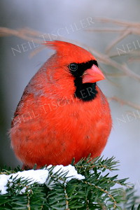#1015  Northern Cardinal, male, in winter.