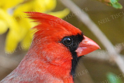 #811  Northern Cardinal portrait, male, in springtime.