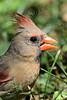 1412  Northern Cardinal, female