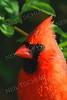 #908  Northern Cardinal portrait, male, in springtime.