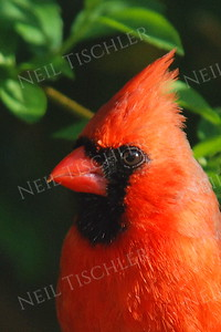 #908  Northern Cardinal portrait, male, in springtime.
