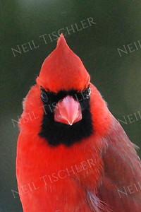 #573  Northern Cardinal portrait, male
