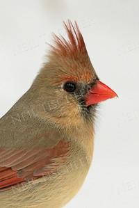 #413  Northern Cardinal portrait, female