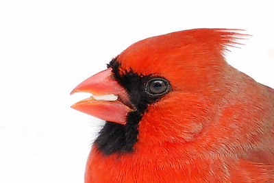 #647  Northern Cardinal portrait, male in winter