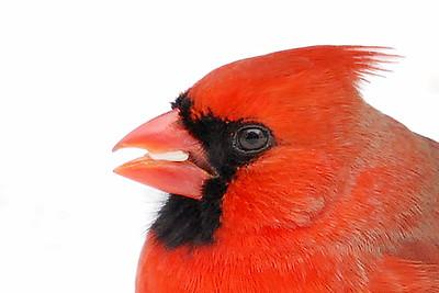 #647  Northern Cardinal portrait, male in winter