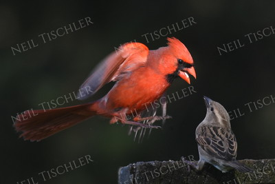 #1176  Northern Cardinal scaring house sparrow away from feeding tray - 3 of 4 images.  (Available only as a signed print direct from Neil)