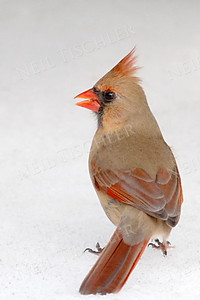 #607  Northern Cardinal, female, on snow