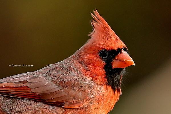 Northern Cardinals