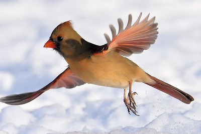 #1617  Northern Cardinal, female, taking flight