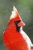 #567  Northern Cardinal portrait, male