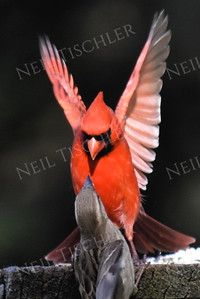 #1174  Northern Cardinal scaring house sparrow away from feeding tray - 1 of 4 sequential images.  (Available only as a signed print direct from Neil)