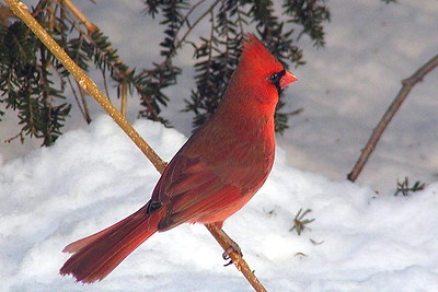 #223  Northern Cardinal, male in winter            (small image)