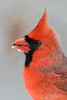 #980  Northern Cardinal, male, in winter.