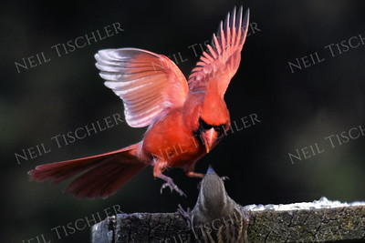 #1177  Northern Cardinal scaring house sparrow away from feeding tray - 4 of 4 images.  (Available only as a signed print direct from Neil)